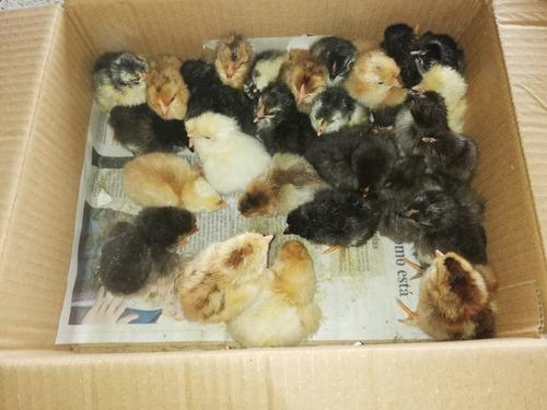 pollitas pollas pollos gallinas  de huevos azules y verdes