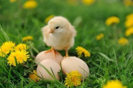 pollito vacunado , saludable , para carne y huevos
