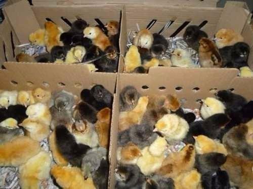 pollitos criollos de cinco días de nacidos
