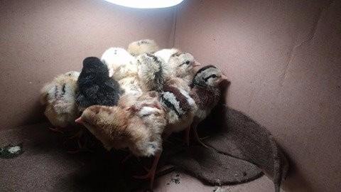 pollitos de combate   gallos y gallinas