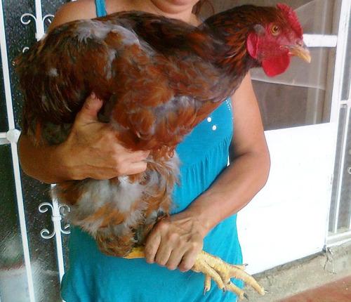 pollitos de raza criollo gigante