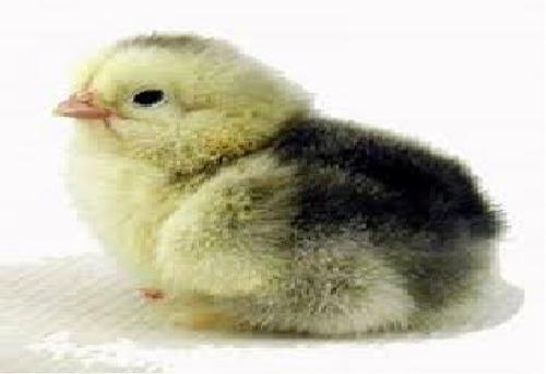 pollitos sin sexar de gallinas ponedoras con gallos criollos