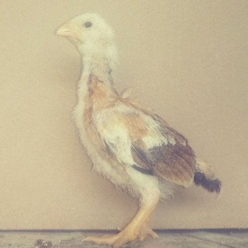 pollos assel rajah murgh buscan nuevo hogar
