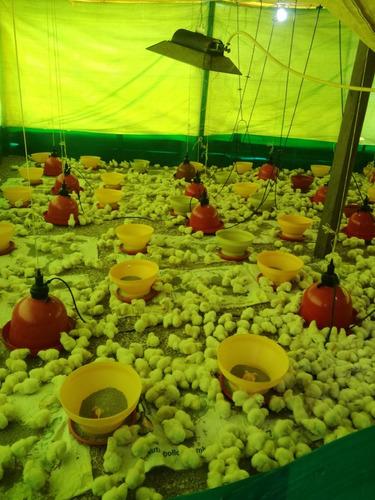 pollos de engorde recriados