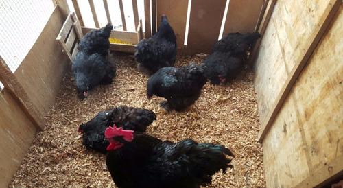 pollos gigantes s/30.00 cochinchinos gallo gallina