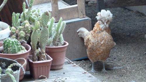 pollos paduanos. valor por unidad. venta por pareja.