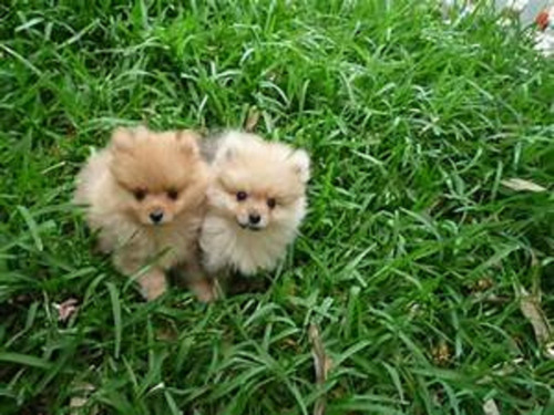 pomerania cachorros hermosos