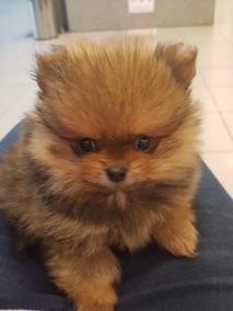 Cachorro Pomeranian Husky - Perros de Raza Usado en Mercado