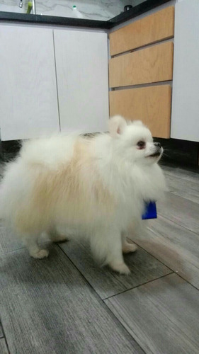 pomerania cachorros super calidad vip