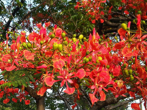 ponciana planta flamboyan arbol acacia maceta flores