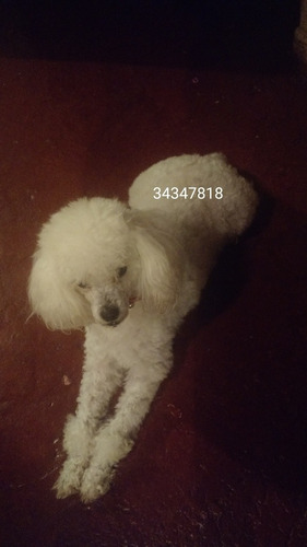 poodle toy