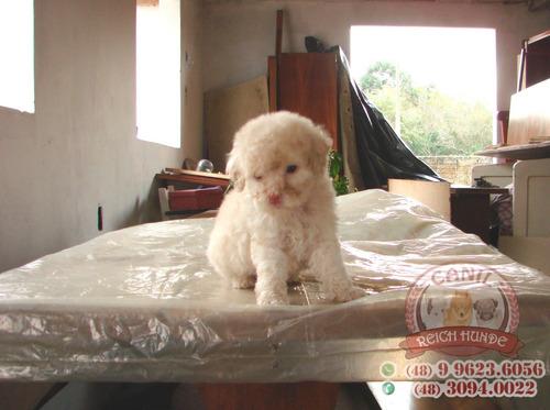 poodle toy c/ pedigree e microchip 10x s/ juros direto canil