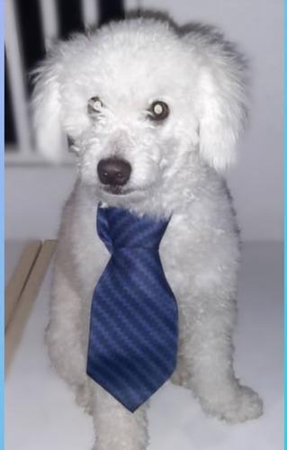 poodle toy  ofrece servicio de monta