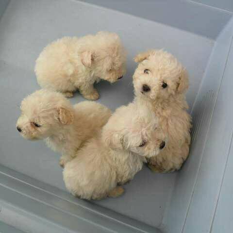 poodles fench bebes mini tacita