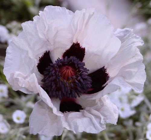 poppy royal wedding flores gigantes sementes para mudas