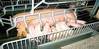 porcinos, aves, ganado, codorniz: asesor,sanidad, proyectos