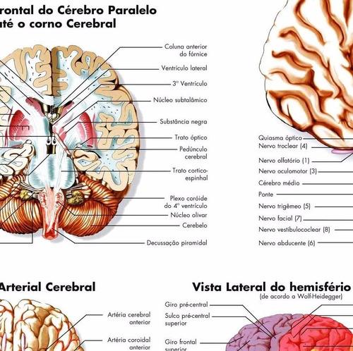 poster anatomia cerebral 60x80cm decoração medicina clínica