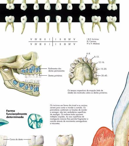 poster dental 65x100cm decoração odonto consultório dentista