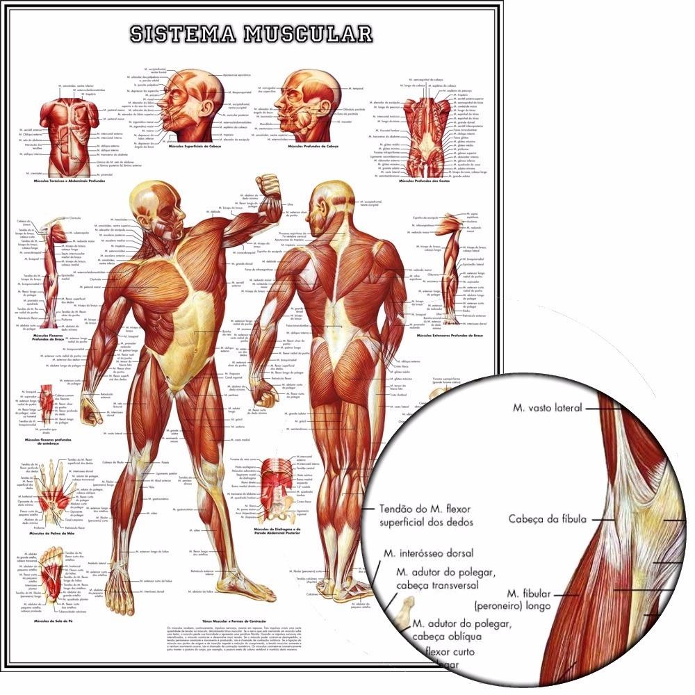 Poster Hd Anatomia Músculos 65x100cm Decorar Sala Academia - R$ 128 ...