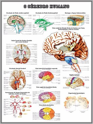 poster hd -- cérebro 60x80cm decoração medicina