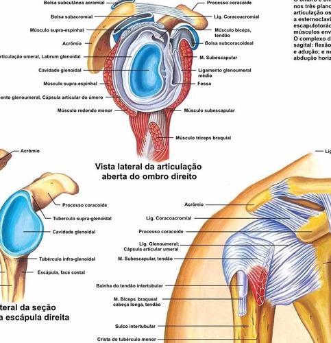 poster hd ombro articulação 60x80cm decoração fisioterapia