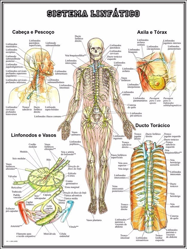 Poster Hd Sistema Linfático 65x100cm Mapa Medicina Clínica - R$ 123 ...