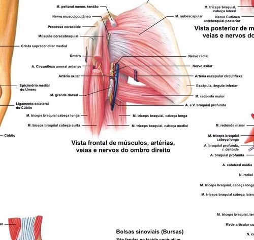 poster ombro anatomia 65x100cm decorar fisioterapia clínica