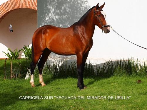 potra española hija de caballos y yeguas españoles valorados