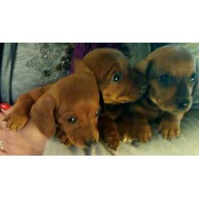 Precio Especial!!cachorros Salchichas Super Mini Entrego Ya