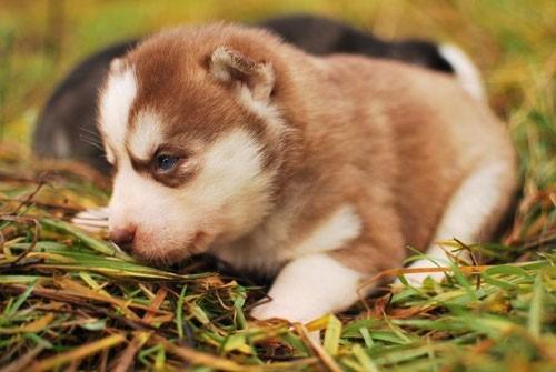 preciosas cachorritas siberiano husky, 100% puras!!!