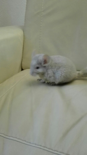 preciosas chinchillas beige hembritas