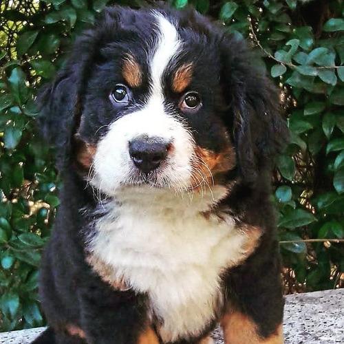 precioso!!! cachorro boyero de berna!!!