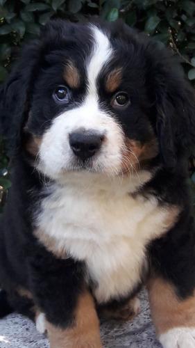 precioso!!! cachorro boyero de berna!(  bella berna)