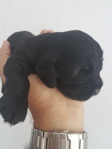 preciosos cachorros cocker color negro. padres a la vista