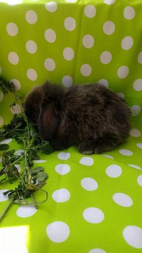 preciosos conejitos mini lop listos para entrega muy bellos
