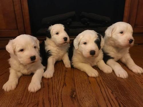 preciosos y auténticos cachorros pastor ovejero ingles a-1