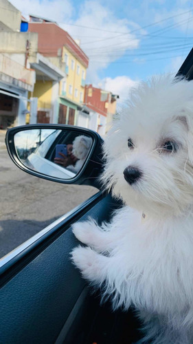 procura cachorro macho maltês para cruzar