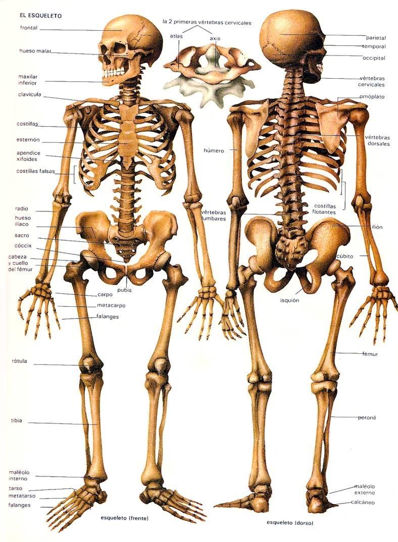 Berühmt Adam Interaktive Online Anatomie Bilder - Anatomie Von ...