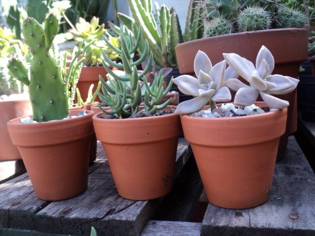 promo 2 cactus suculentas crasas en maceta de barro n°8 - $ 100,00