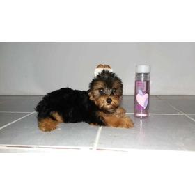 Promoção Corona Filhote Yorkshire Terrier Mini