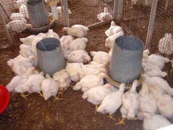 proyecto para emprendimiento de cria pollos de engorde