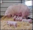 proyectos gallinas cerdos cachamas, ganado + libros de cría