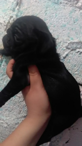 pug cachorro negro