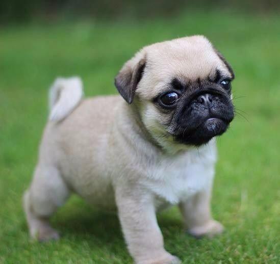 Pug Cachorros De Calidad A Meses