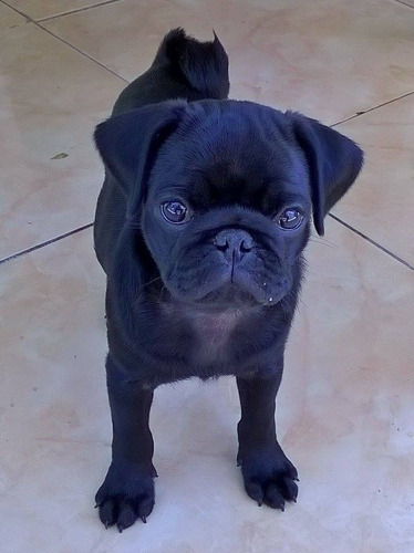 pug macho com pedigree