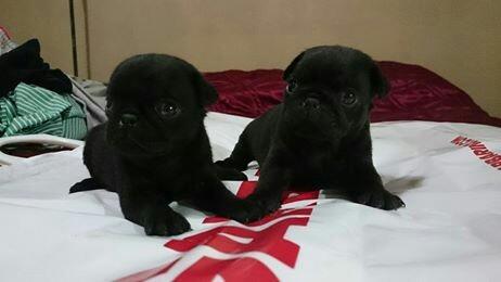 pug negros cachorros