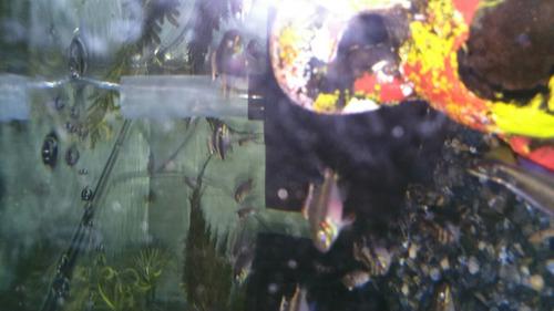 pulcher peces y acuarios