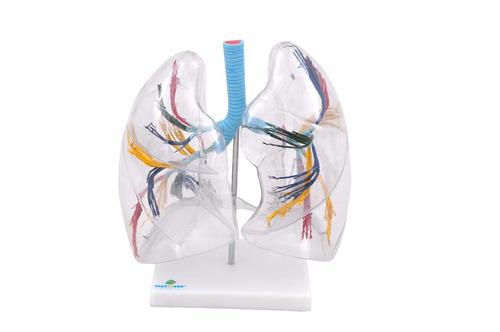 pulmão transparente modelo anatômico vitchlab