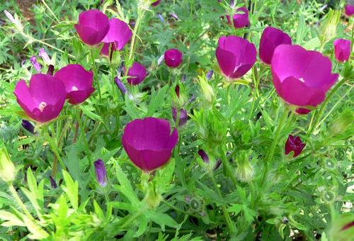 purple poppy callirhoe involucrata flor sementes para mudas
