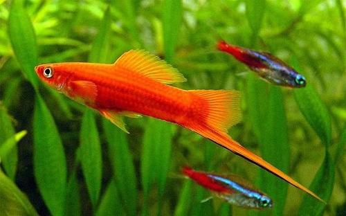 raçao peixes ornamentais flocos nutrafish  nutral 150g